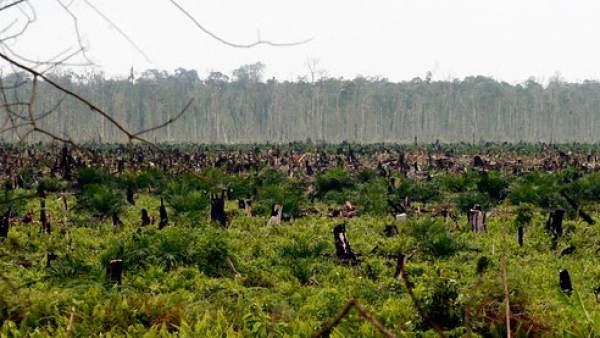 Bosques destruidos por el aceite de palma