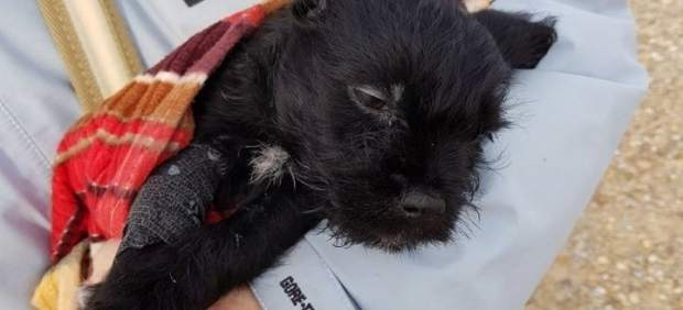Investigadas 2 personas por abandonar un cachorro mestizo de Schnauzer miniatura