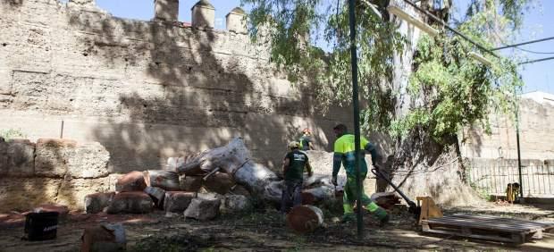 Trabajos del Ayuntamiento en el árbol que afecta a la Muralla de la Macarena
