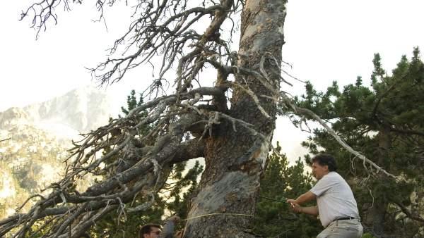 Extracción de testigos de un árbol