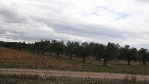 Un olivar