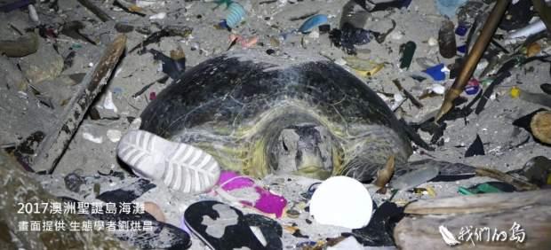 Una tortuga verde intenta anidar en una playa convertida en un mar de plástico