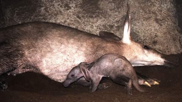 Bebé de cerdo hormiguero recién nacido -