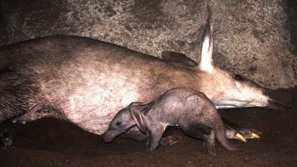 """Bioparc València comença l'any del seu desé aniversari amb el naixement d'un """"rar"""" porc formiguer"""