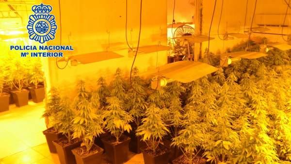 Nuevo Golpe Al Tráfico De Drogas En Almería Con 400 Plantas De Marihuana Incauta