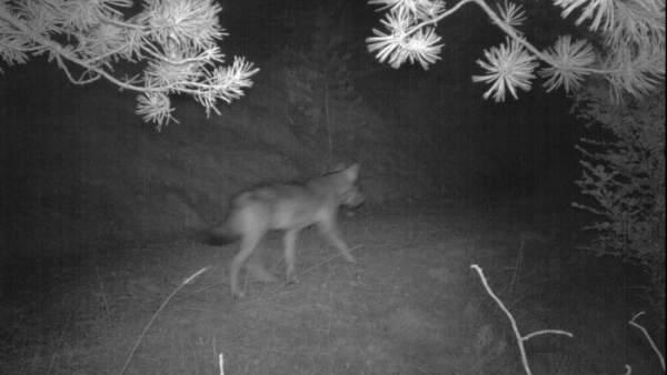 Fotografía del lobo localizado en la comarca del Solsonès