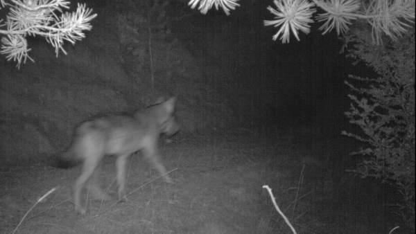 Imagen de un lobo captadas con cámaras trampa en el Port del Comte (Lleida).
