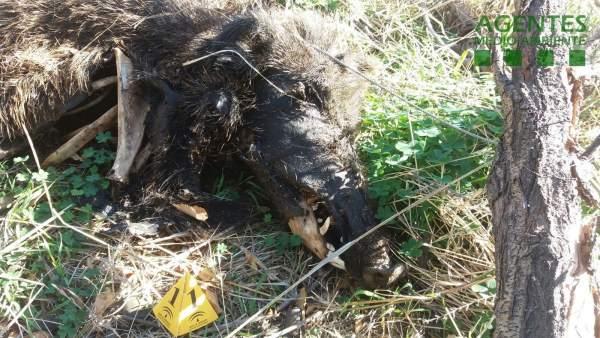 Cadáver de un jabalí atrapado en un lazo