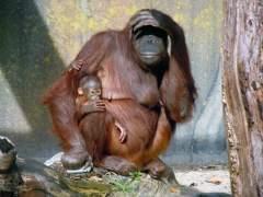 La población de orangutanes se redujo a la mitad en dos décadas en Borneo