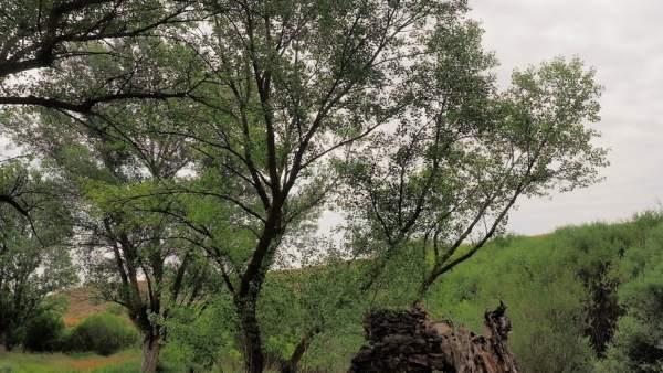 Imagen de la ribera de chopo cabecero.
