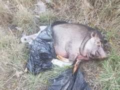 La Policía investiga la aparición del cadáver de un cerdo vietnamita en Fuenlabrada