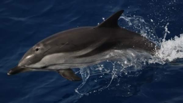 Un delfín nada en el entorno de Cabo Tiñoso