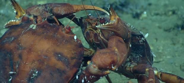 Duelo entre dos cangrejos