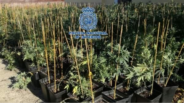 La Policía Nacional, Desmantela En Córdoba Una De Las Mayores Plantaciones De Ma