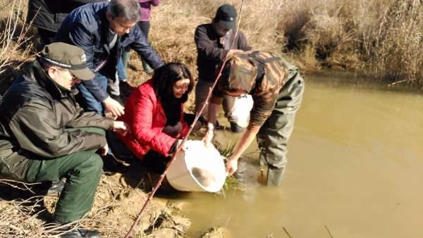 Suelta de angulas en el Río Barbate por la Junta