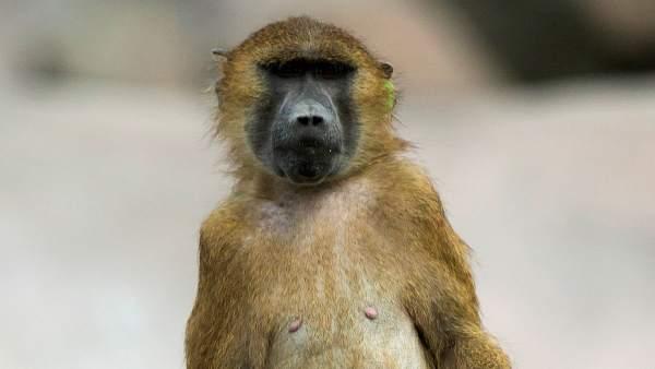 Un babuino en el zoo de Vincennes, en Francia