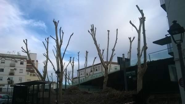 Estado de los árboles de la plaza de los Rosales tras su terciado.