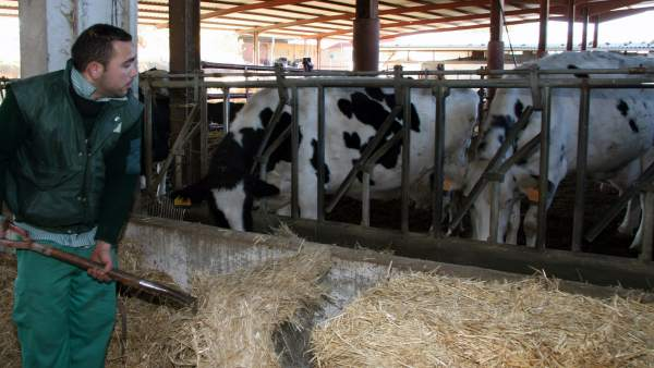 Ganadero con vacas