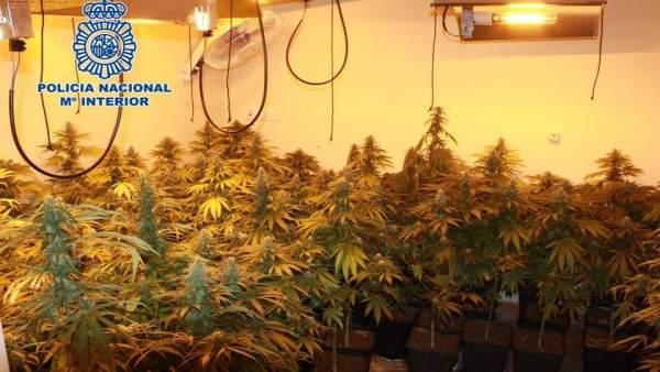 Plantación de marihuana en la zona norte de la capital