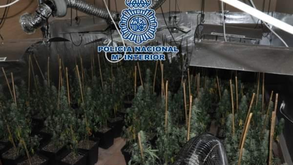 Plantas de marihuana incautadas en Lucena