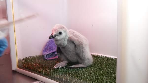 Cría de pingüino barbijo