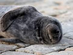Un joven ejemplar de foca gris deambula por la bahía de Santander
