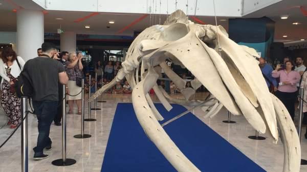 Bahía Sur recuperó el esqueleto de la Ballena Bahía, expuesta en el centro.