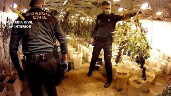 Desarticulat un grup que cultivava 12.000 plantes de marihuana a Xiva