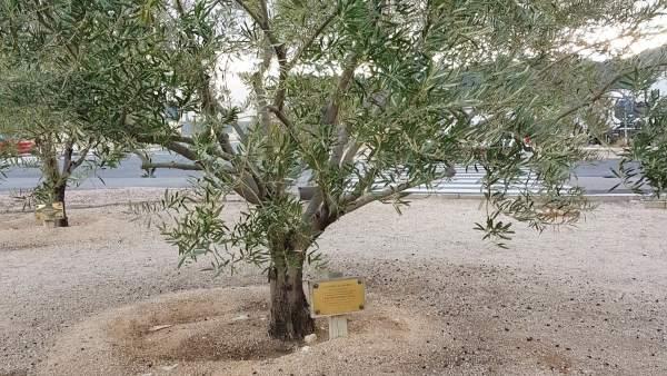 El olivo dedicado a Francisco Camps