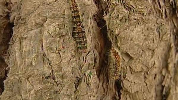 Procesionaria del pino.