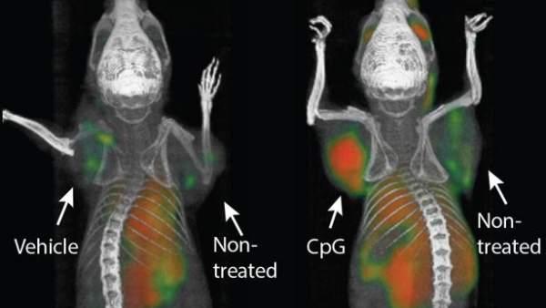 Una vacuna cura distintos tipos de tumores en ratones