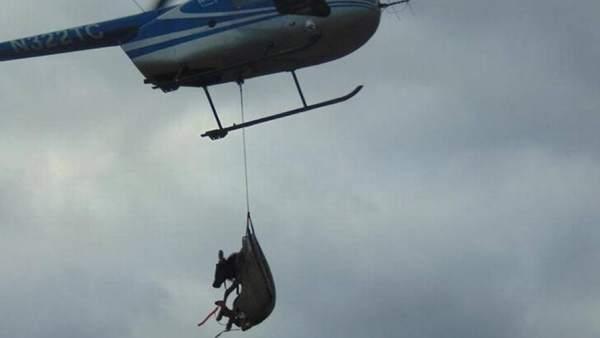 Un alce trasladado por un helicóptero