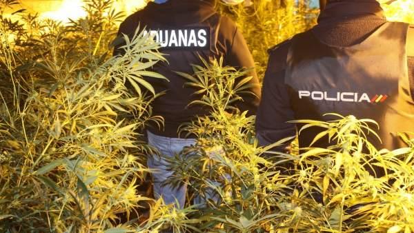Plantación de marihuana en 'El Hoyo' (Mallorca)