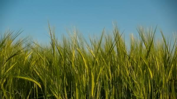 Cereales, campo, cultivo