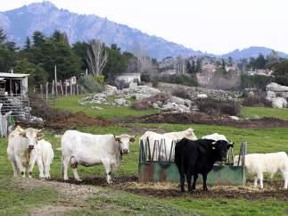 Toros y vacas pastando en el campo en una imagen de archivo.