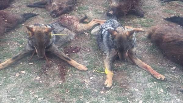 Imagen de una batida de caza con dos lobos muertos difundida en Redes Sociales