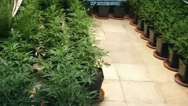 Plantación de marihuana intervenida por la Policía Nacional