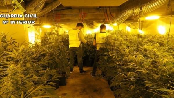 Desmantelan un cultivo de 2.000 plantas de marihuana en la Pobla