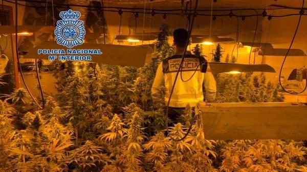 Desmantelamiento de una plantación de marihuana en un cortijo