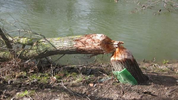 Árbol Afectado.