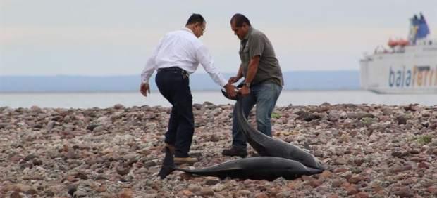 Delfines varados en México