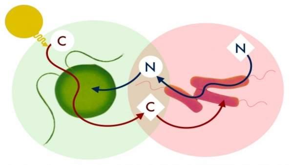 Mutualismo entre las metilobacterias y las Chlamydomonas