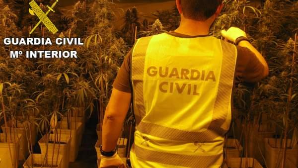 Desmantellen 660 plantes de marihuana en un casa de Font d'en Carròs amb un enganxe elèctric de tipus 'vampir'