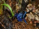 Rana de flecha azul en Terra Natura