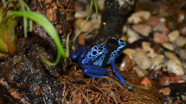 Terra Natura Benidorm aconsegueix per primera vegada la reproducció en captivitat de la granota de fletxa blava