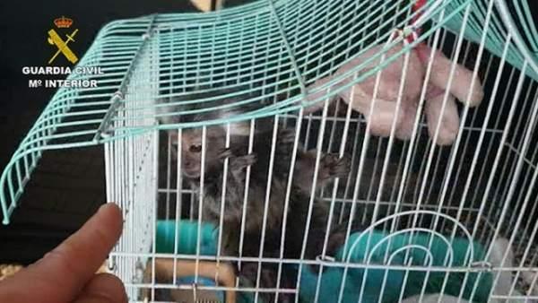 Investigan la venta ilegal de primates sin control sanitario