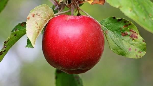 Imagen de archivo de una manzana