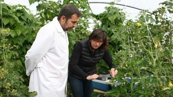Cultivar Tomates Con Menos Agua De Riego