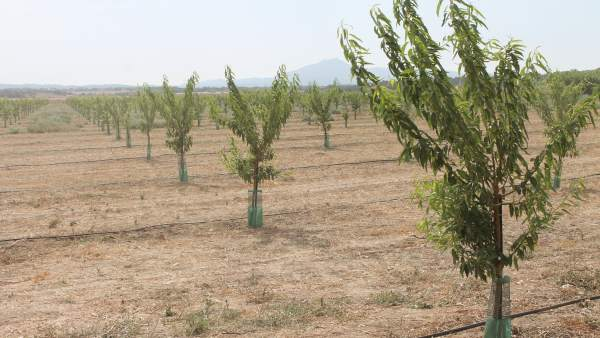 Þárboles plantados en Baleares