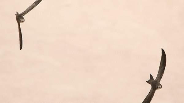 Ejemplares de vencejo pálido